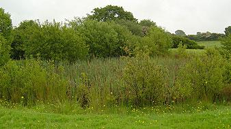 Before - wildlife pond silted up and overgrown with reedmace