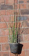 2 litre potted Bullrush